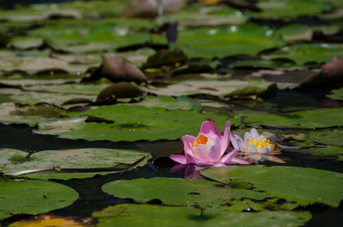 Water Lilies in Washington: Kenilworth Aquatic Gardens