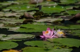 Water Lilies in Washington: Kenilworth AquaticGardens