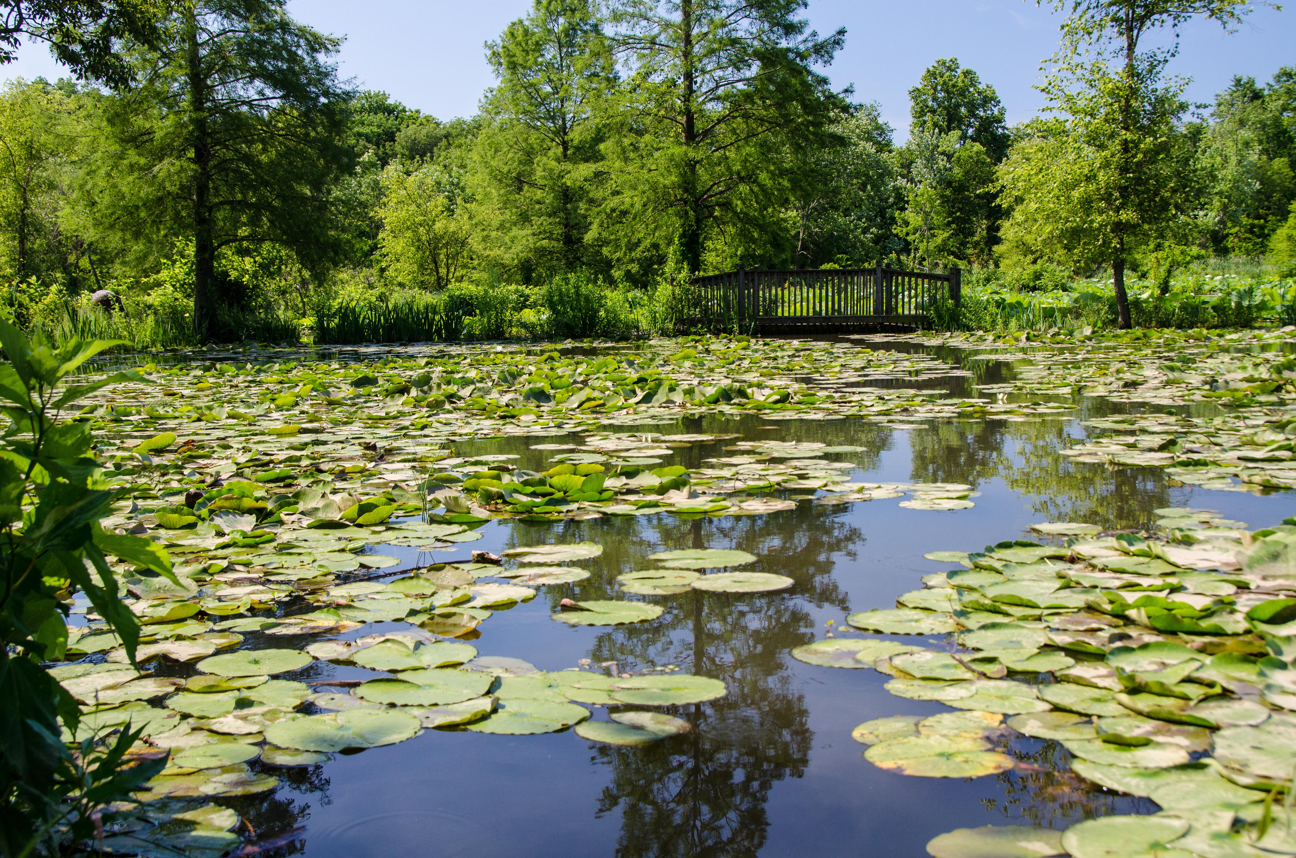 Water Lilies in Washington Kenilworth Aquatic Gardens