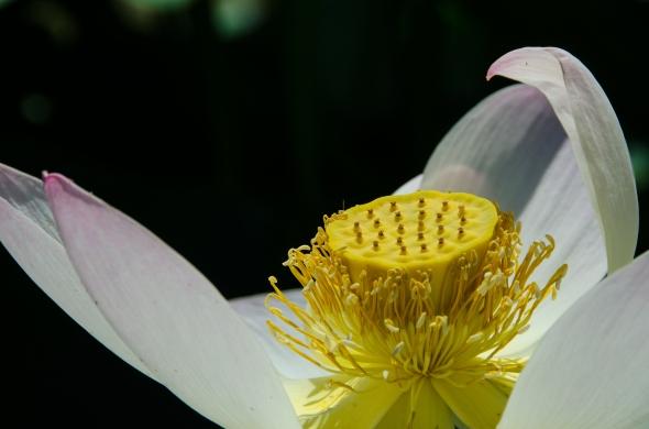 Lotus pod, Kenilworth Aquatic Garden, Washington, DC