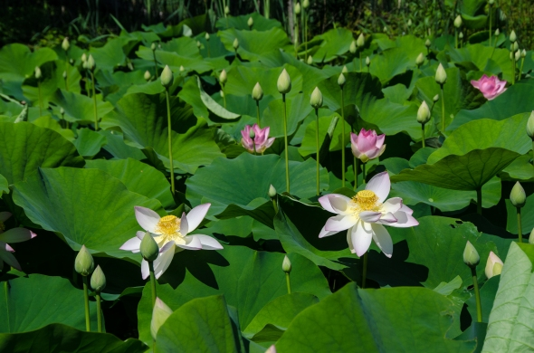 First lotus blooms of the year, Kenilworth Aquatic Garden, Washington, DC