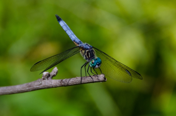 Blue dasher dragonfly, Kenilworth Aquatic Garden