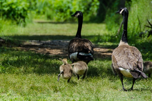 Goslings running after their parents at Kenilworth Aquatic Garden, Washington, DC
