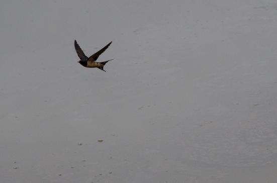 Barn swallow, Kenilworth Aquatic Gardens, Washington, DC
