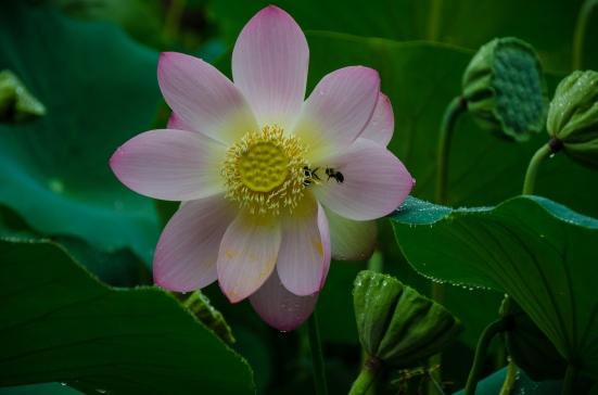 A lotus flower and a bee, Kenilworth Aquatic Gardens, Washington, DC