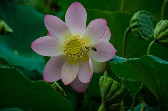 A lotus flower and a bee, Kenilworth Aquatic Gardens, Washington, DC