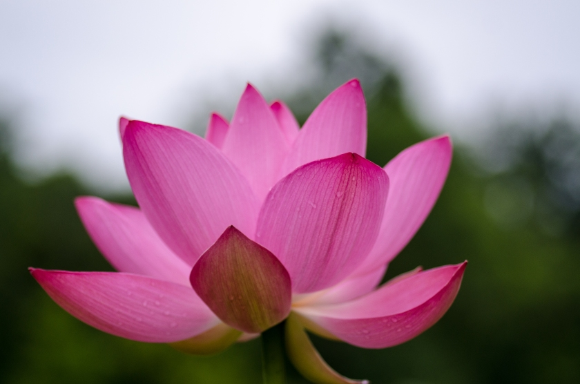 A lotus bloom against the morning light