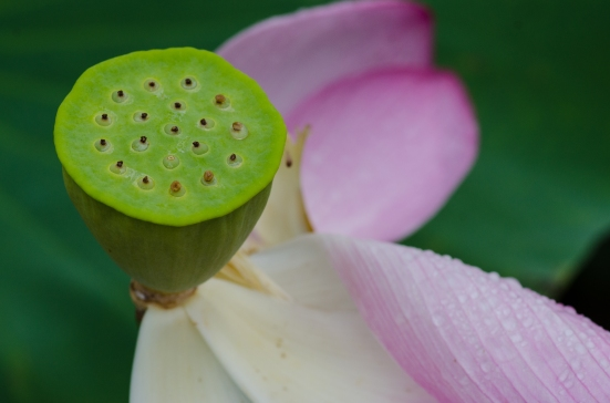 A lotus blossom, almost bloomed out, Kenilworth Aquatic Gardens, Washington, DC
