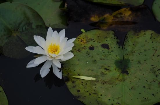 Water lily, Kenilworth Aquatic Gardens, Washington, DC