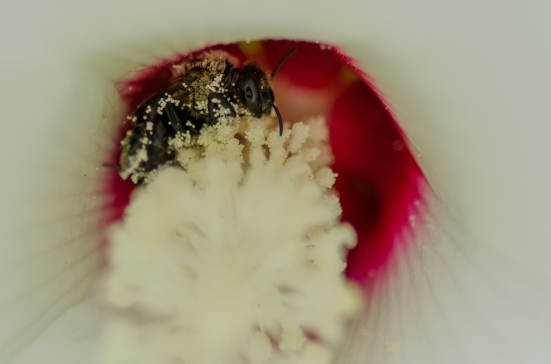 Upclose bee in a rose mallow flower, Kenilworth Aquatic Gardens, Washington, DC