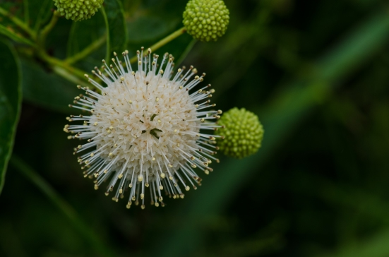 Cephalanthus occidentalis, Kenilworth Aquatic Gardens, Washington, DC