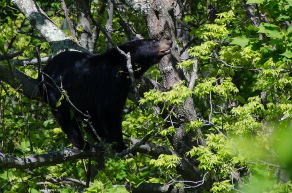 A black bear in a tree, Shenandoah, Skyline Drive