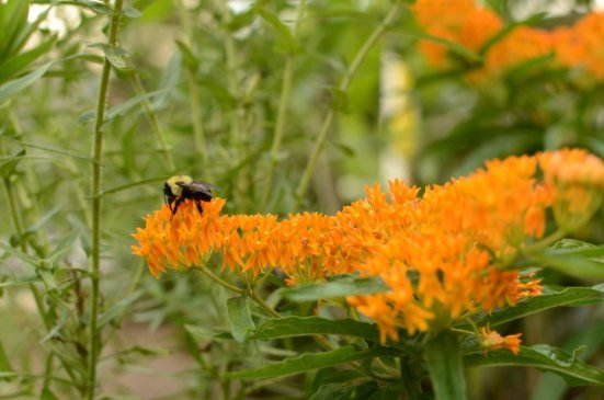 Butterfly weed with bee