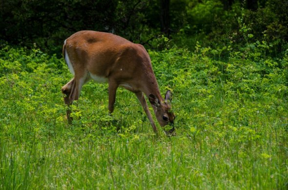 White-tailed doe, grazing in Shenandoah