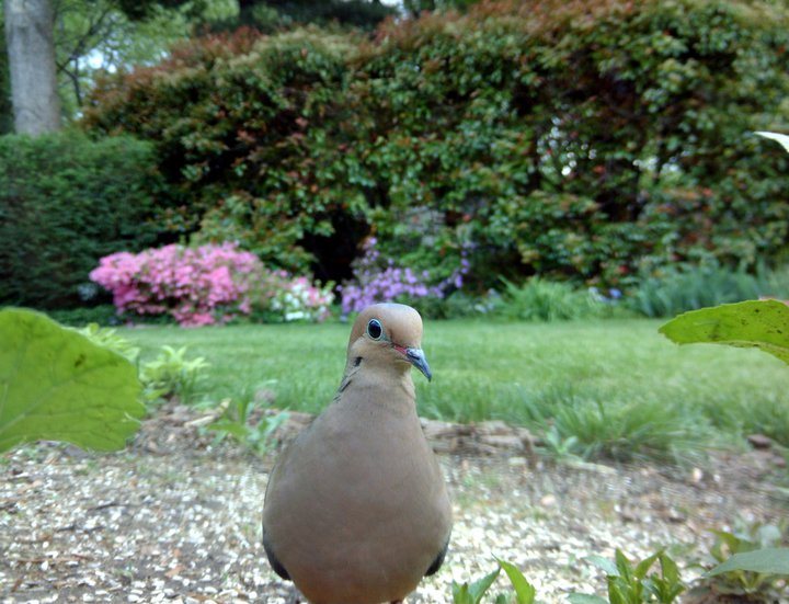 Mourning dove in Virginia