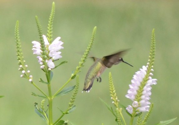 A ruby-throated hummingbird attacking an obedient plant