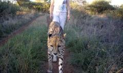 Purring cheetah, Mokolodi Nature Preserve, Botswana