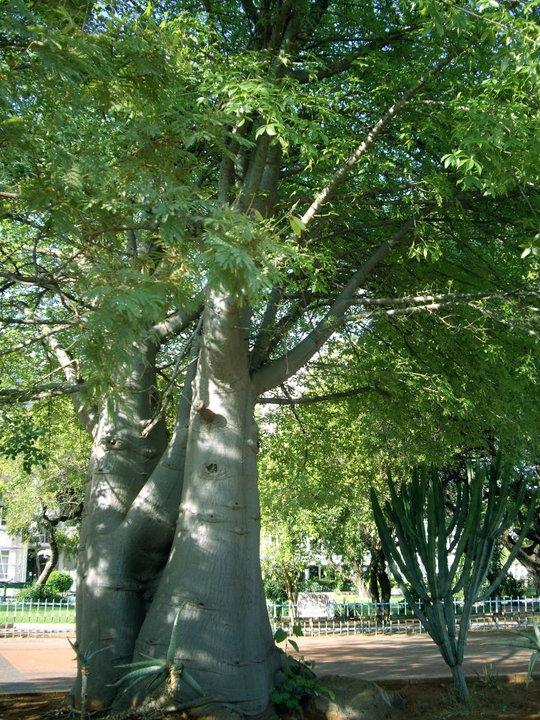 Baobabs, Gaborone, Botswana