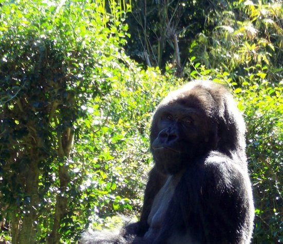 Gorilla, Orlando's Animal Kingdom