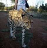Botswana's Mokolodi Nature Reserve: My Evening with Cheetahs