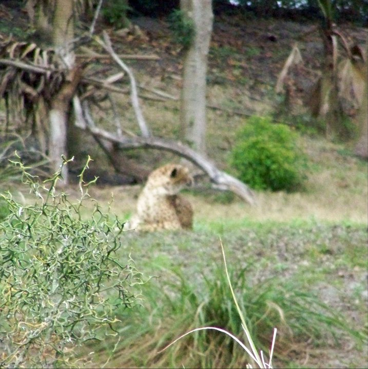 Cheetah, resting in Orlando's Animal Kingdom