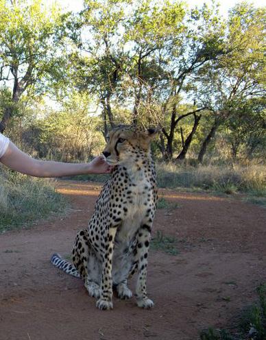 Cheetah and I