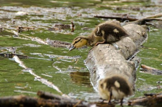 Duckling in Dyke Marsh Wildlife Preserve