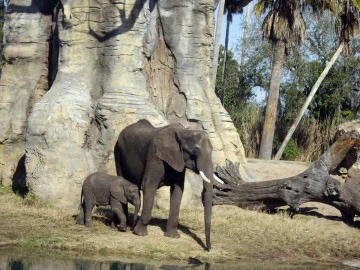Elephants, Harambe Wildlife Reserve in Orlando's Animal Kingdom