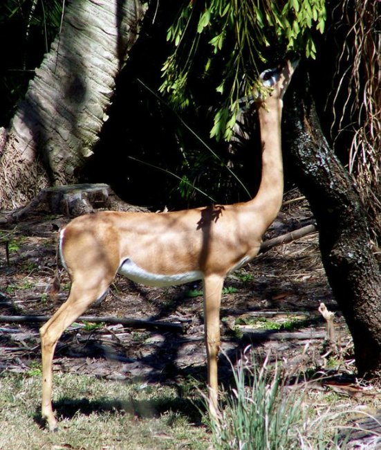 Gerenuk with its giraffe-like neck, Harambe Wildlife Reserve in Orlando's Animal Kingdom