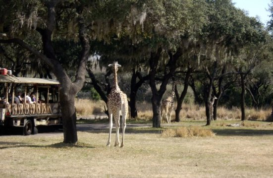 Giraffes, Harambe Wildlife Reserve in Orlando's Animal Kingdom