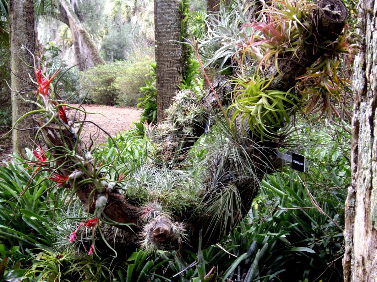 Air plants, Bok Tower Gardens