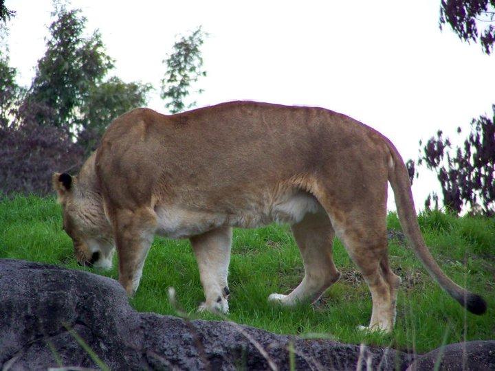 Lioness, Harambe Wildlife Reserve in Orlando's Animal Kingdom