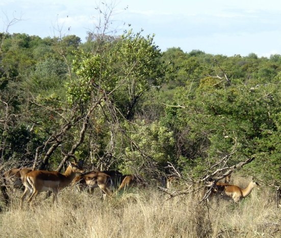Male impala and his harem