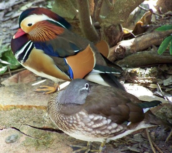 Mandarin ducks in Orlando's Animal Kingdom