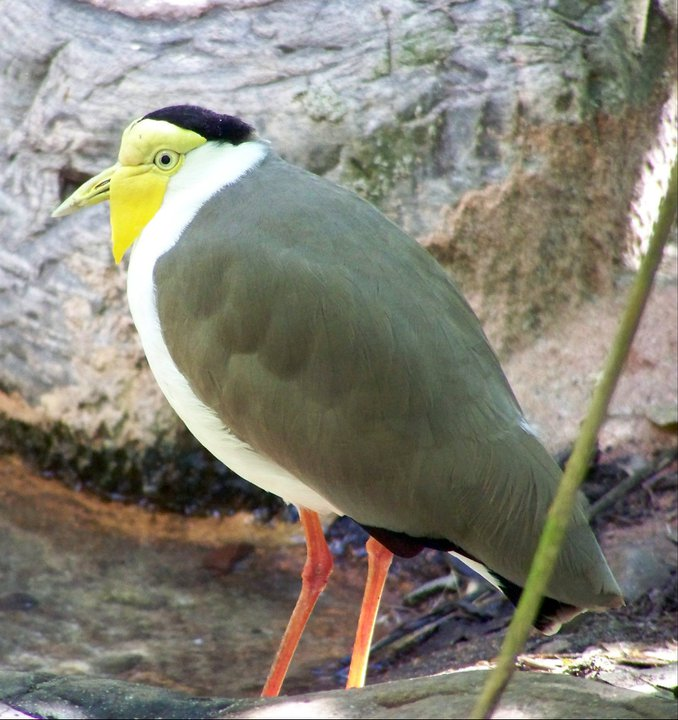 New Guinea Masked Plover, Orlando's Animal Kingdom