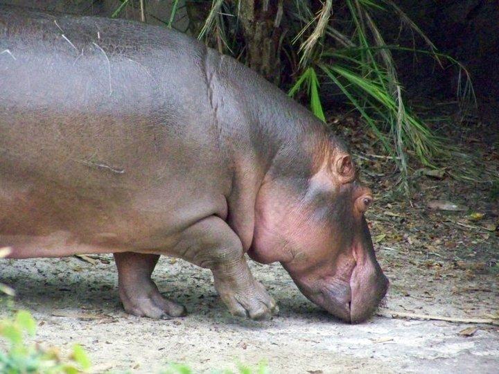 Nile Hippopotamus, Harambe Wildlife Reserve in Orlando's Animal Kingdom
