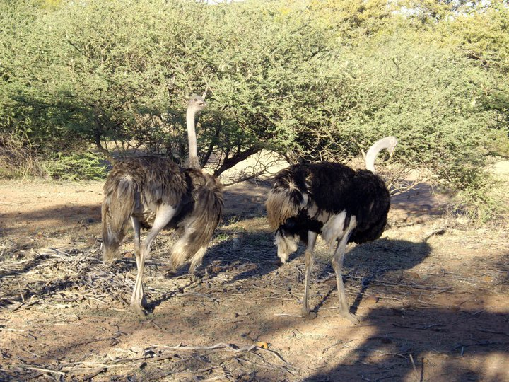 Ostriches, strolling through the veld