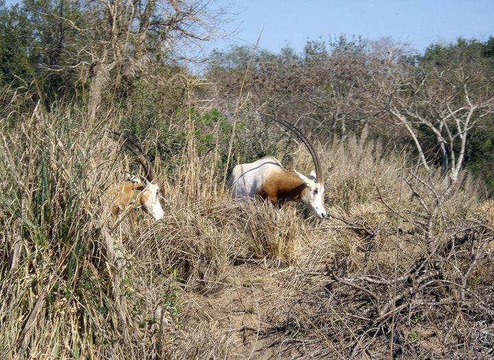Scimitar-horned Oryx, Lioness,Harambe Wildlife Reserve in Orlando's Animal Kingdom