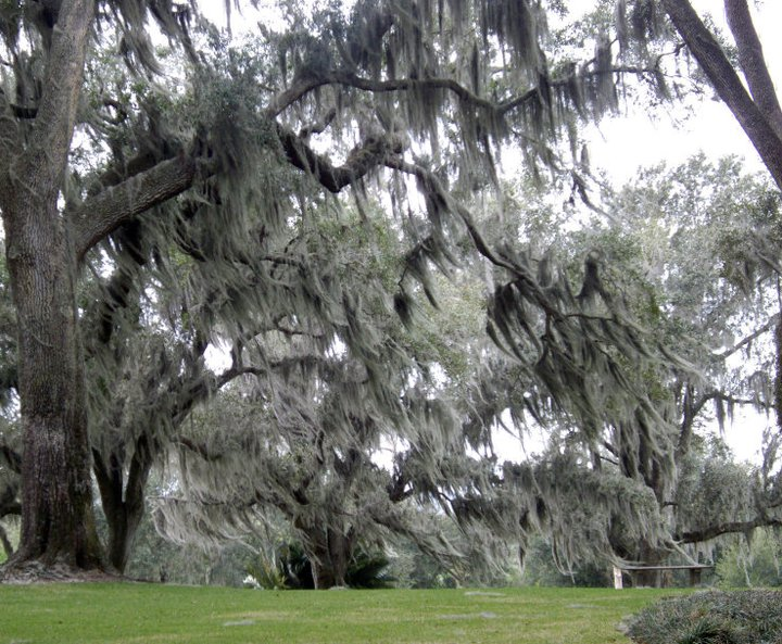 Spanish moss in the wind, carillon performance at Bok Tower Gardens, Florida