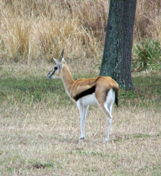 Thomson's Gazelle, Harambe Wildlife Reserve in Orlando's Animal Kingdom