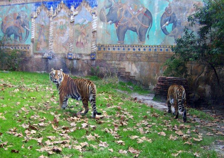 "Tigers along the Maharajah Jungle Trek in ""Asia,"" Orlando's Animal Kingdom"