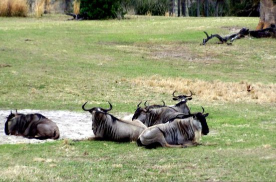 White-bearded Wildebeest, Harambe Wildlife Reserve in Orlando's Animal Kingdom