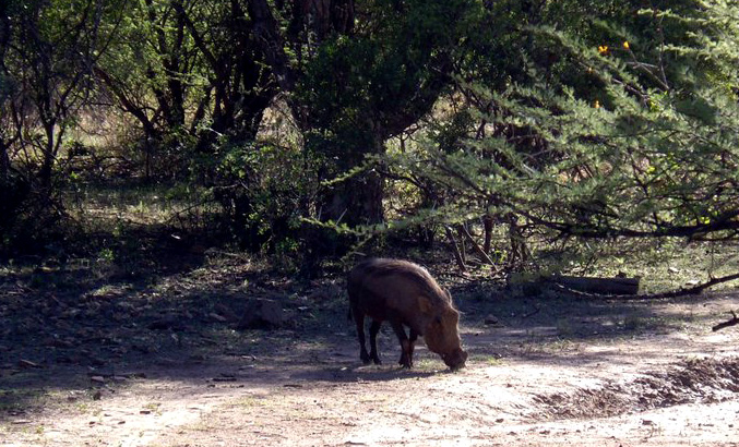 Warthog, tilling the earth and helping things grow