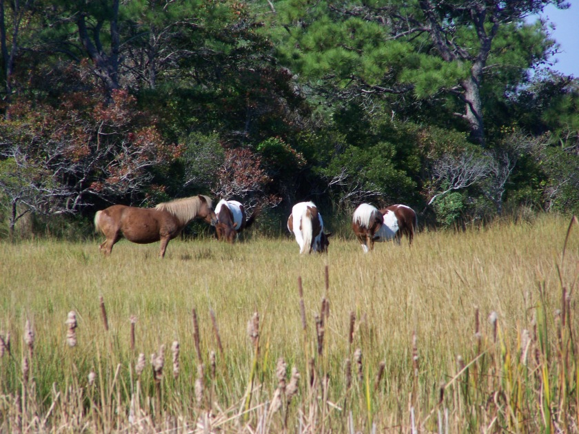 Assateague Island wild horses