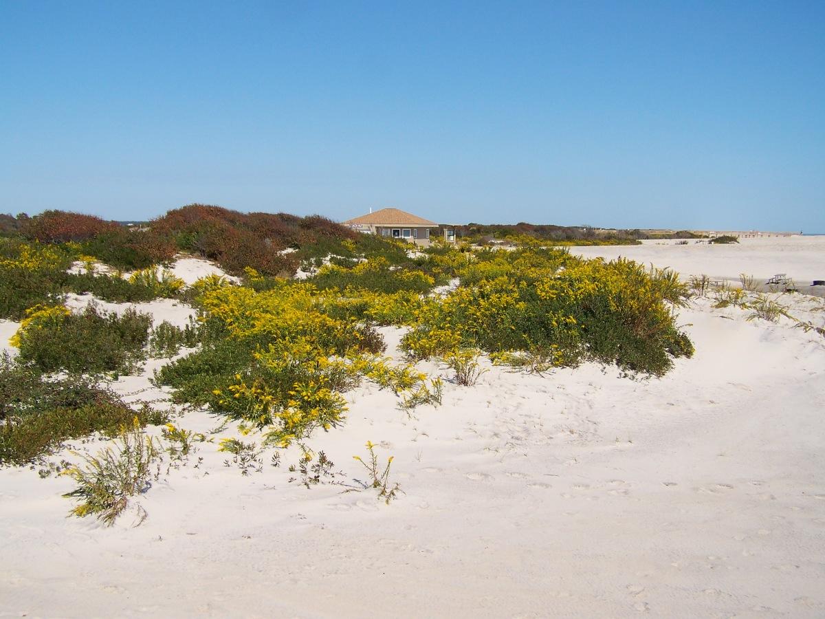 Goldenrods among Assateague's dunes