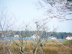 Assateague's birds - Belted Kingfisher