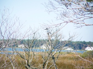Assateague's birds - Belted Kingfisher