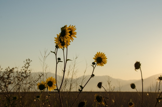 Wild sunflowers at the Bear River Migratory Bird Refuge