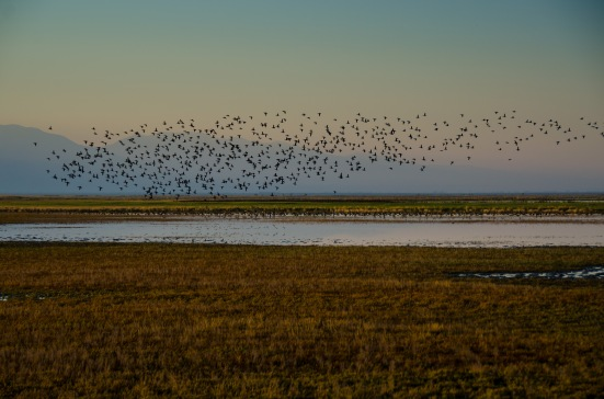 A cloud of birds at the Bear River Migratory Bird Refuge
