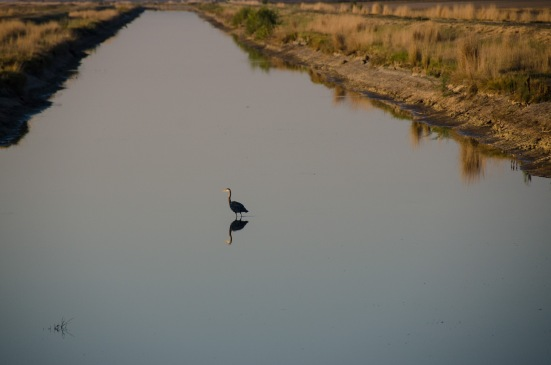Heron wading in Bear River